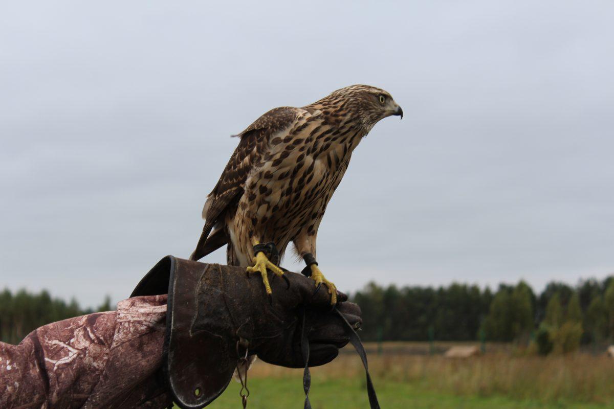 ВНижегородской области завершился сезон охоты словчими птицами