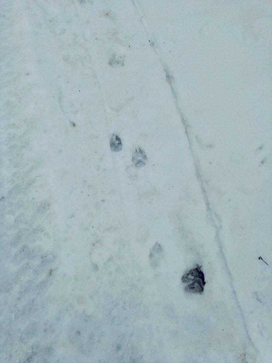 Следы трех волков обнаружили в Шахунье: хищники нападают на собак