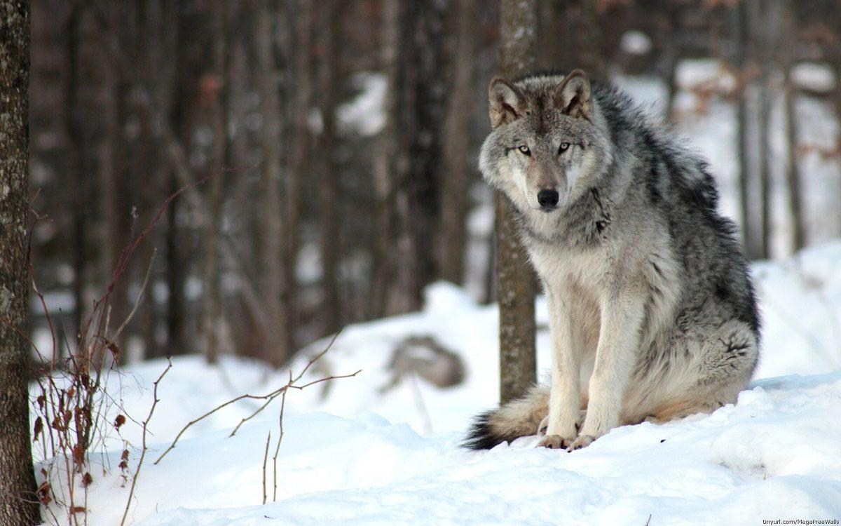 Жители посёлка Сява в Шахунье не пускают детей на улицу из-за нашествия волков