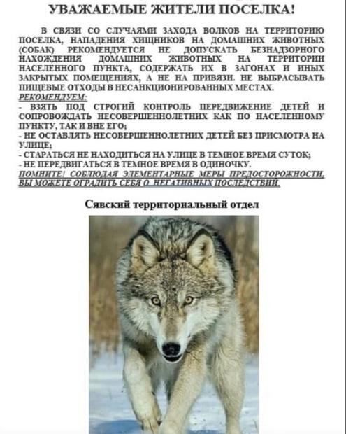 волки шахунья