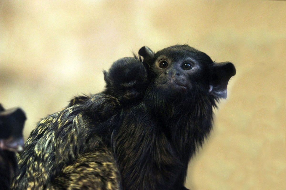 Двойня красноруких тамаринов родилась в зоопарке «Лимпопо»