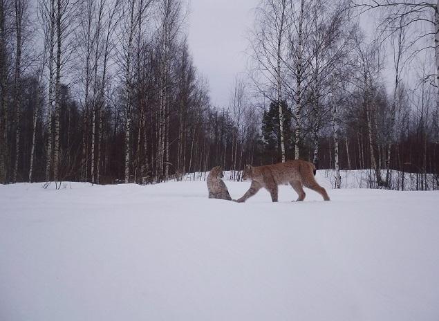 Фото дня: рысь с котятами «поймали» фотоловушки Керженского заповедника