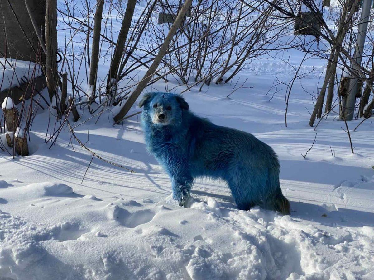 Одну из синих собак из Дзержинска хотят забрать в Америку