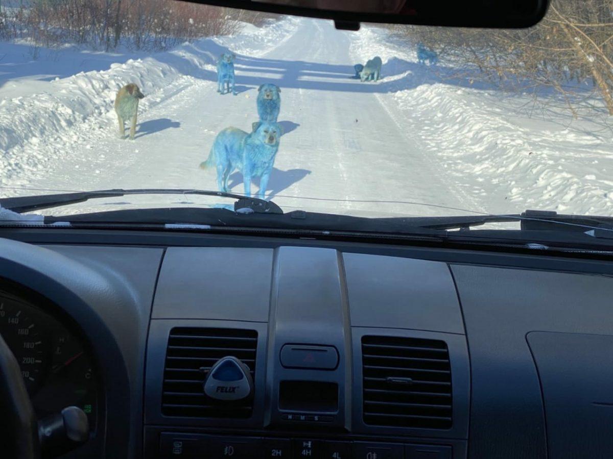 Голубые собаки гуляют на территории завода в Дзержинске
