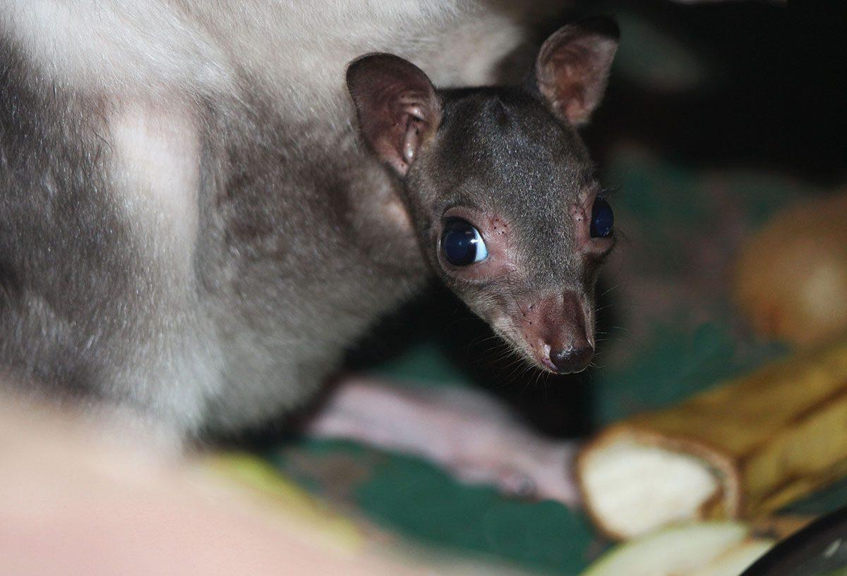 Редкие кустарниковые кенгуру снова стали родителями в зоопарке «Лимпопо»