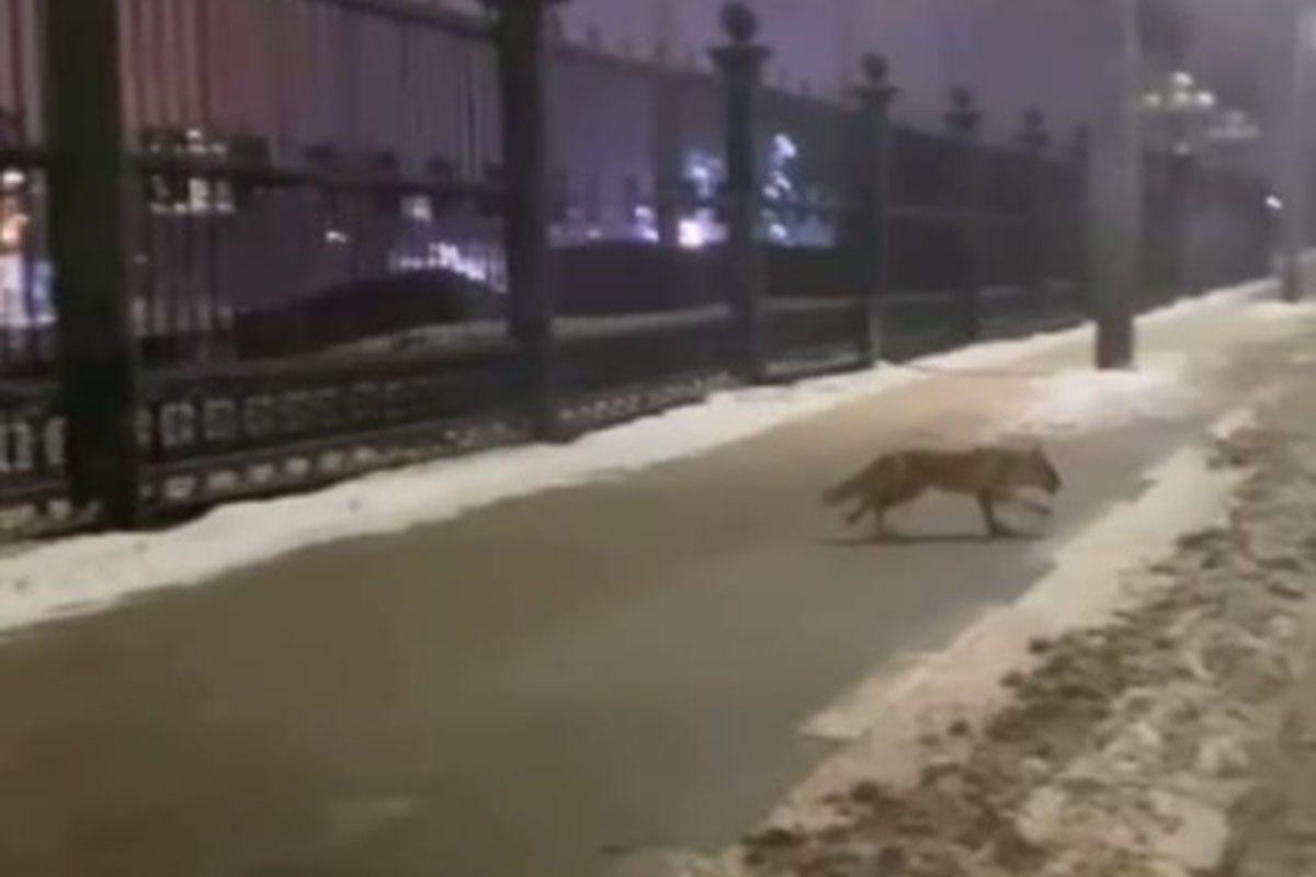 Лиса прогуливалась возле Нижегородской ярмарки