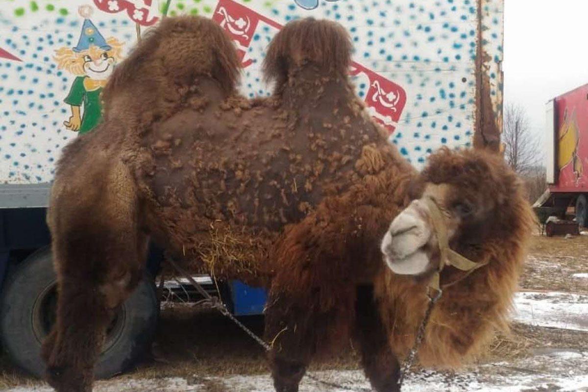 Цирк уехал, верблюдицы остались: нижегородцы спасли брошенных животных