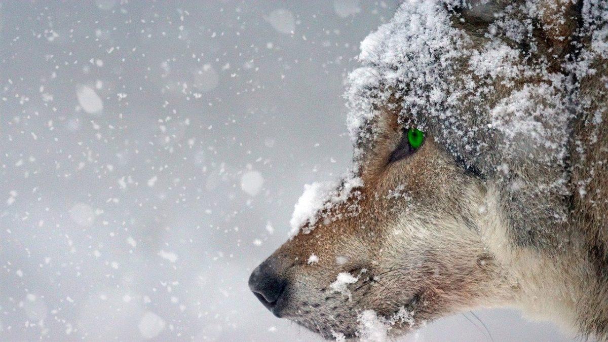 Волки, нападавшие на собак в посёлка Сява, ушли в соседний регион