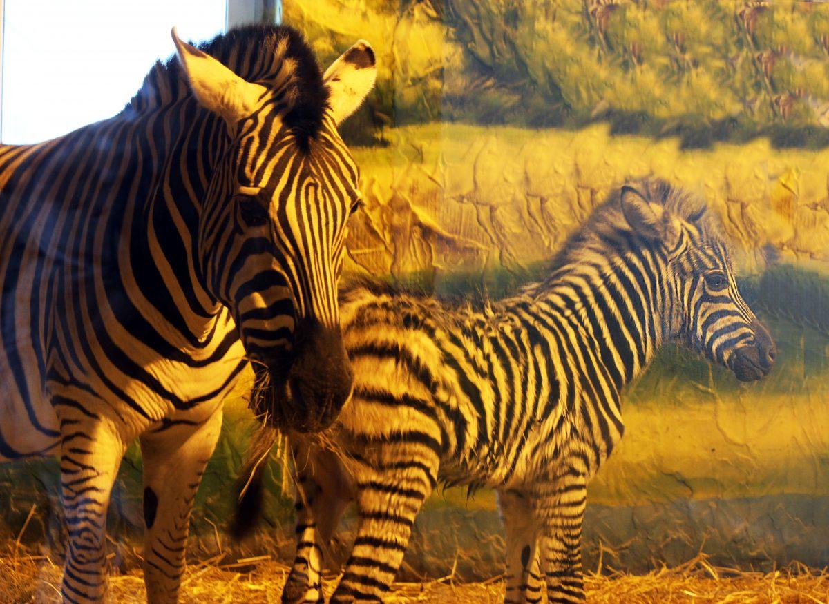 Зебра Марти стала мамой в нижегородском зоопарке «Лимпопо»