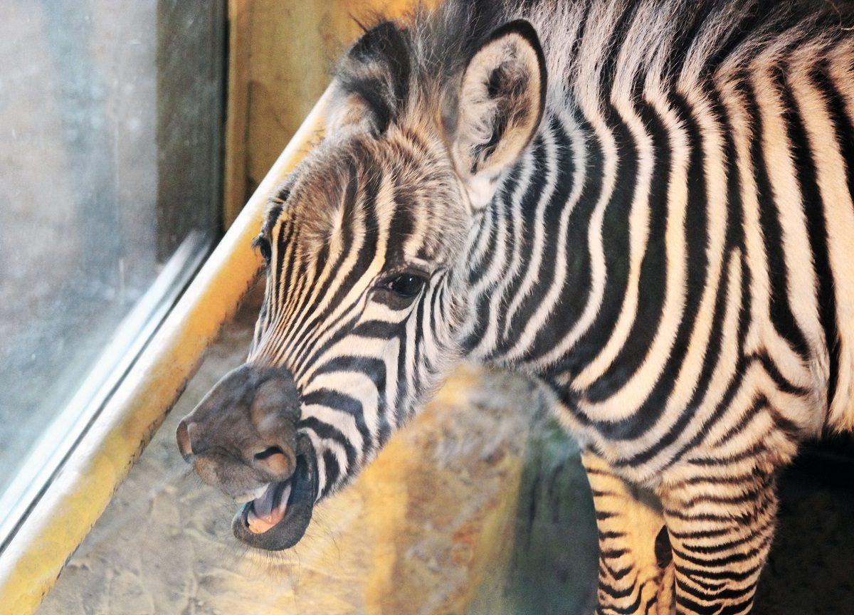 Маленькой зебре из зоопарка «Лимпопо» выбрали имя