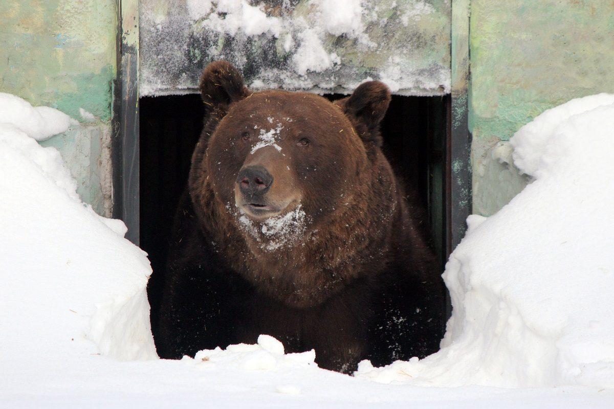 Медведь Балу из зоопарка «Лимпопо» проснулся после зимней спячки