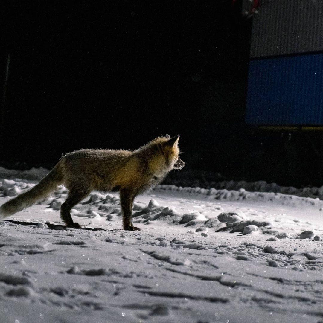 Фото дня: лиса позировала нижегородцам в «Цветах»