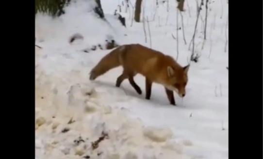 Лиса ловит мышей в Сормовском парке