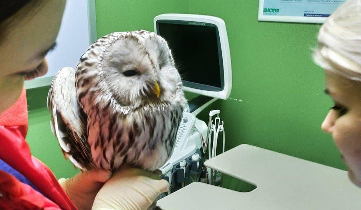 Нижегородцы спасли раненую сову