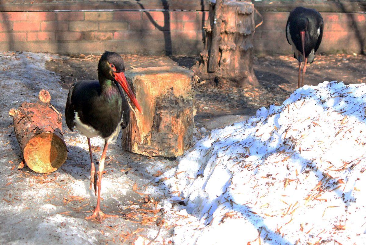 Пара чёрных аистов образовалась в зоопарке «Лимпопо»