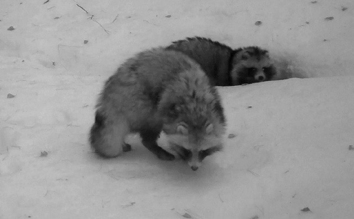 Голодные игры: енотовидные собаки из Керженского заповедника устроили драку за вкусности в кормушке оленей