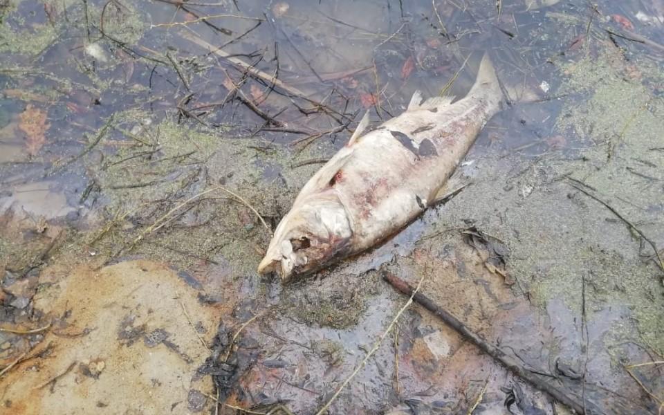 Крупная рыба погибла в пруду под Рязанью