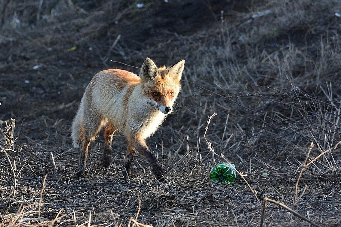 Фото дня: Очаровательная лиса вышла погулять к Сормовскому парку