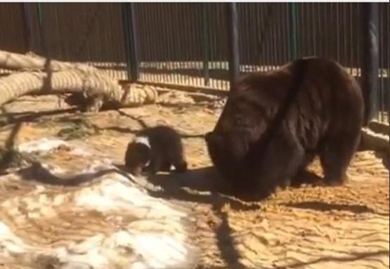 «В кого он такой?»: медвежонок впервые вышел из берлоги в балахнинском зоопарке
