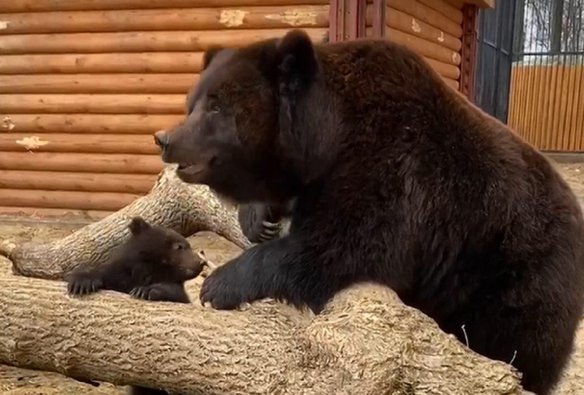 Медведица из балахнинского зоопарка впервые вывела на прогулку медвежонка