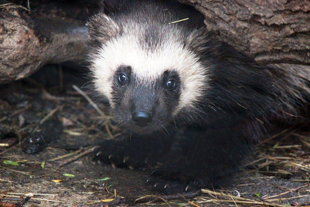 Росомаха Роксана из зоопарка «Лимпопо» впервые вывела на улицу своих малышей