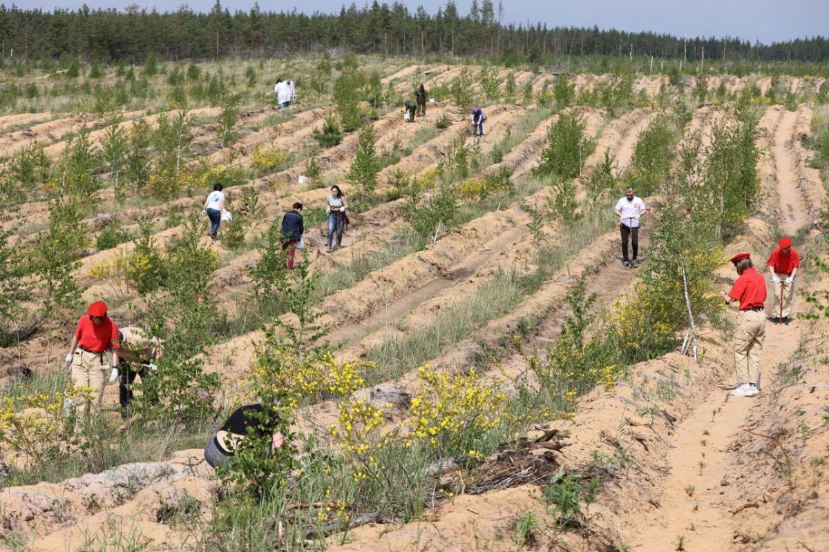 Дзержинское лесничество пополнилось сеянцами еще 3000 сосен