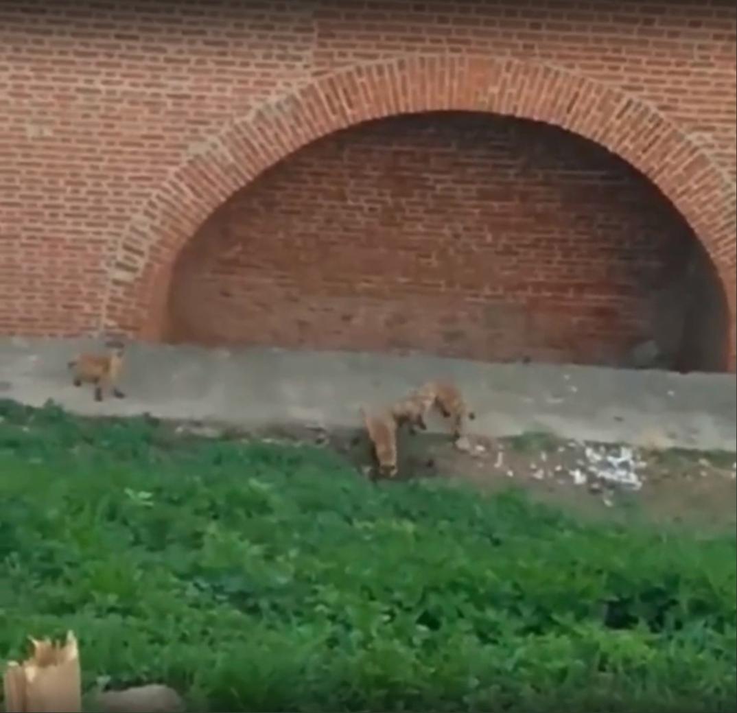 Лисята бегают по территории закрытого кремля в Нижнем Новгороде