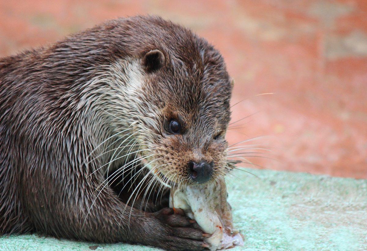 В зоопарке «Лимпопо» отметили Международный день выдр