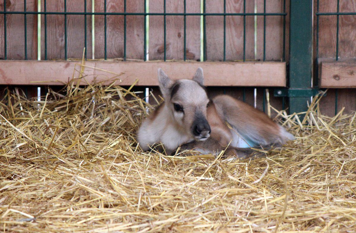 Северный олененок родился в нижегородском зоопарке «Лимпопо»