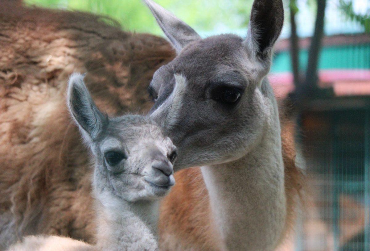 Первый малыш гуанако родился в нижегородском зоопарке «Лимпопо»