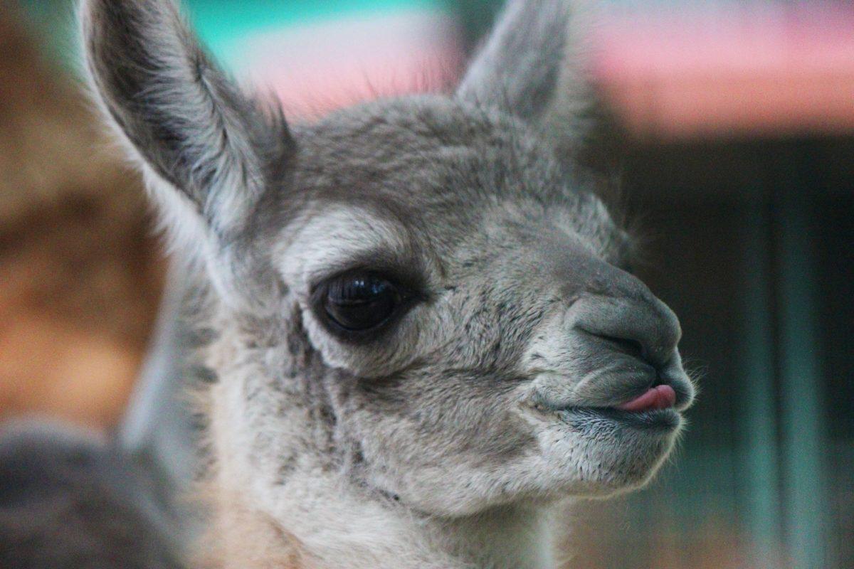 Фото дня: первый малыш гуанако родился в нижегородском зоопарке «Лимпопо»
