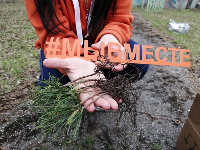 150 саженцев кедра высадят на территории нижегородских центров соцзащиты