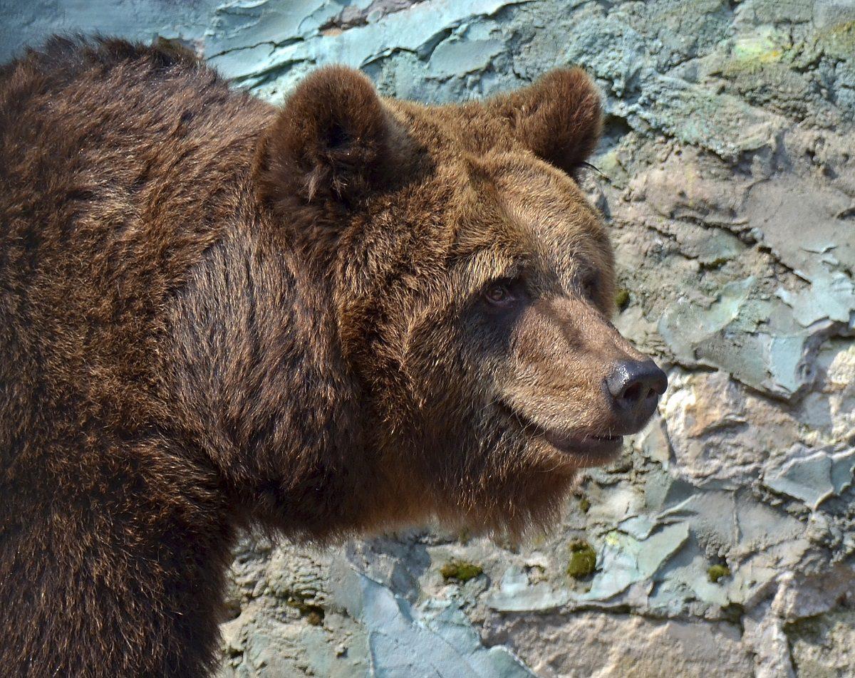 Лимпопо медведи