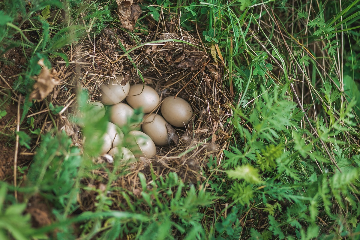 Утку, высиживающую яйца, обнаружили в нижегородском парке «Швейцария»