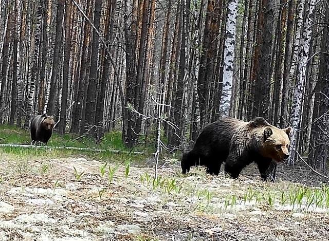 Медвежья свадьба попала в объектив фотоловушки в Керженском заповеднике