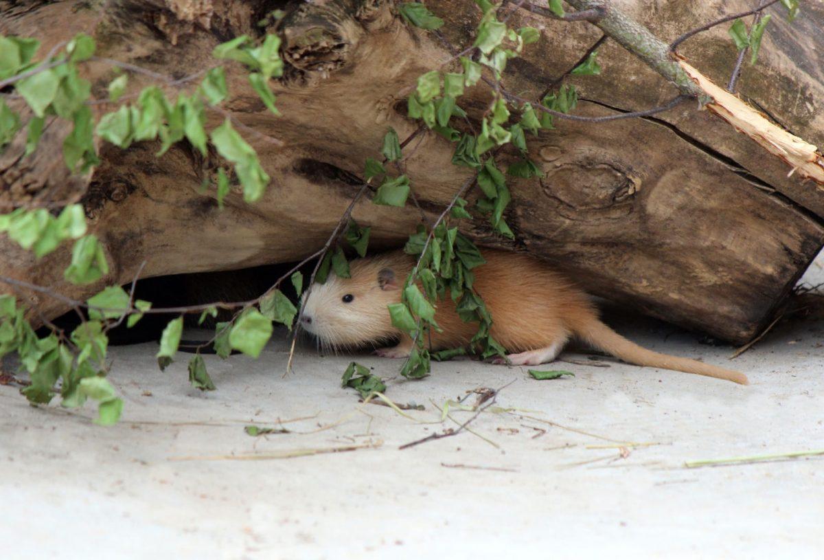В нижегородском зоопарке «Лимпопо» на свет появились детеныши нутрии