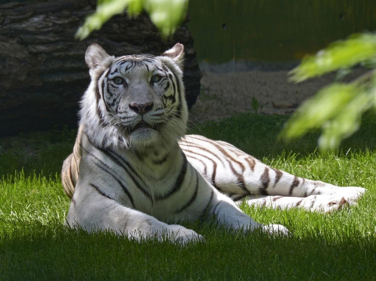 Тайна белой тигрицы из «Лимпопо» раскрыта: сотрудники зоопарка ее официально представили