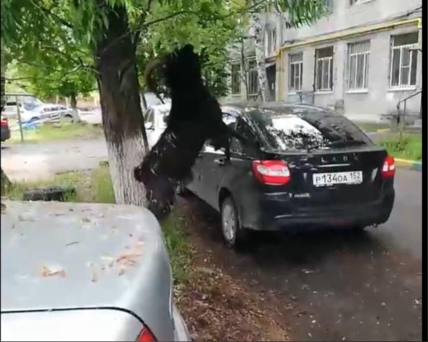 Козел разгуливает по Ленинскому району и портит автомобили нижегородцам