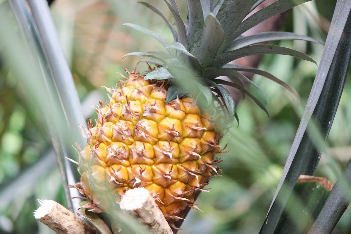 Ботаники вырастили ананас в зоопарке «Лимпопо»