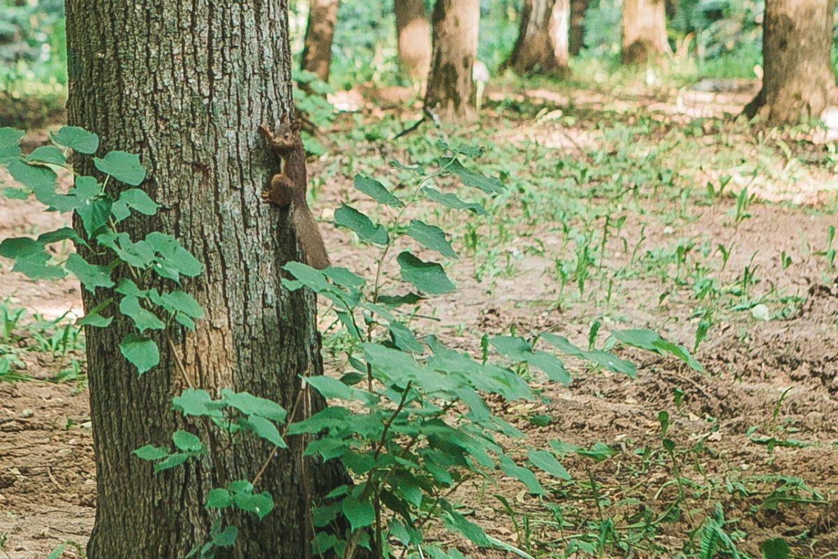 Белки возвращаются на привычные места в нижегородском парке «Швейцария»
