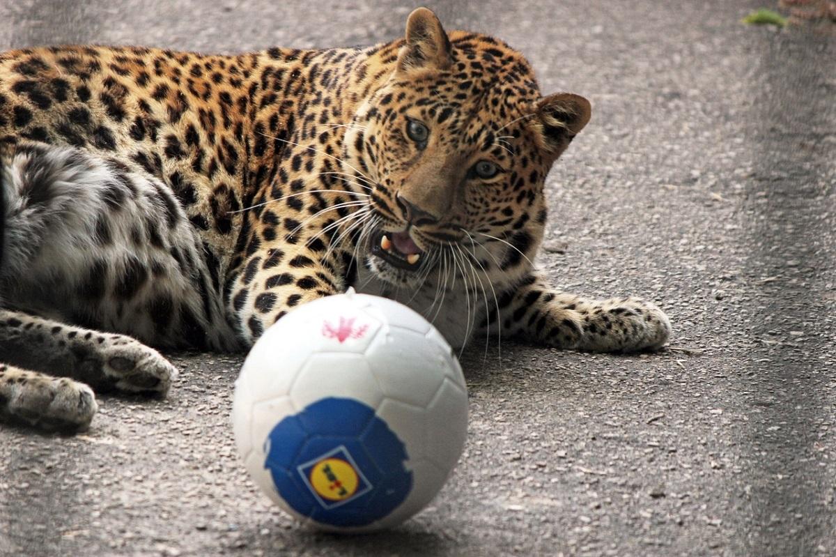 Леопард Арчи из нижегородского зоопарка «Лимпопо» сегодня отмечает свой день рождения