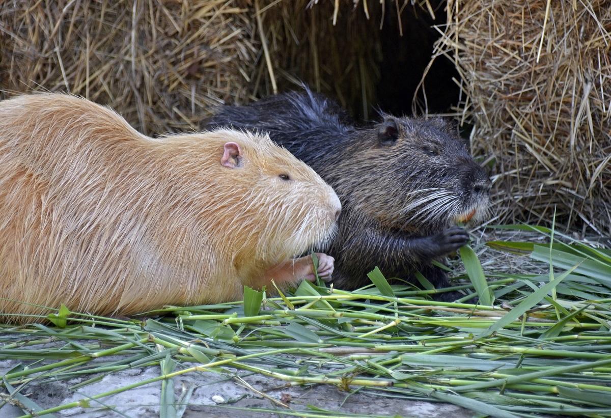 У нутрий в нижегородском зоопарке «Лимпопо» появился новый вольер