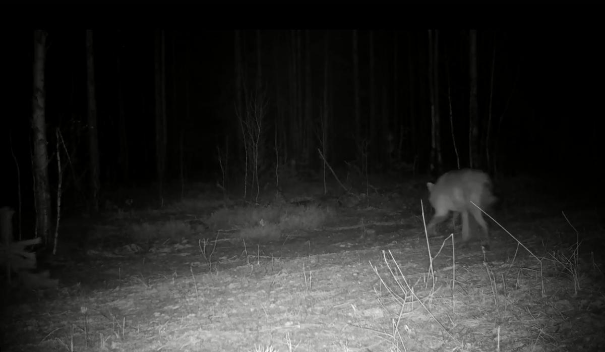 Волк убежал от лося в Керженском заповеднике