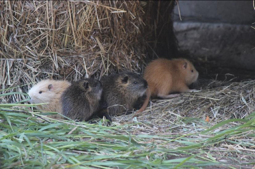 Фото дня: 8 маленьких нутрий родились в нижегородском зоопарке «Лимпопо»