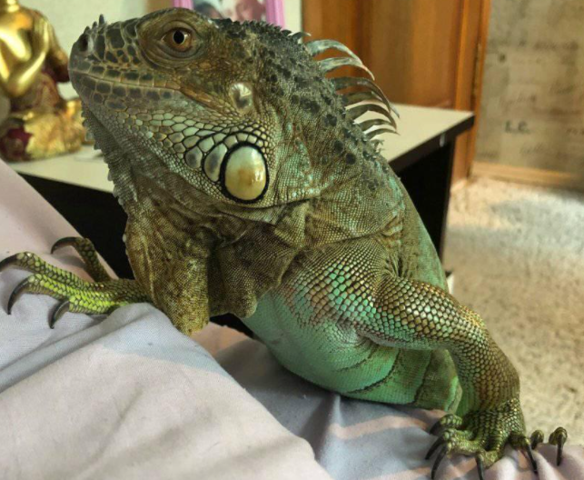 Игуана по имени Драго пропала в Дзержинске