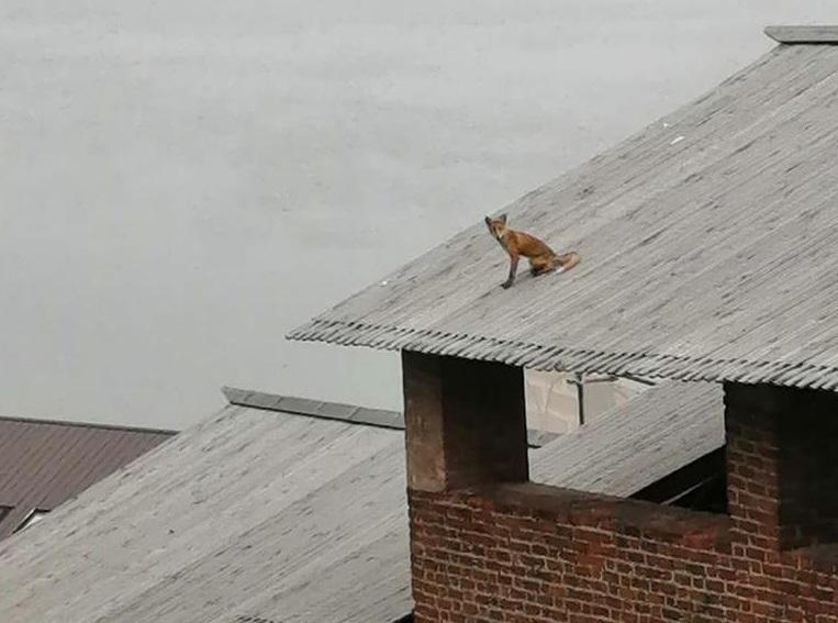Рабочие обнаружили лису, сидящую на крыше Нижегородского кремля