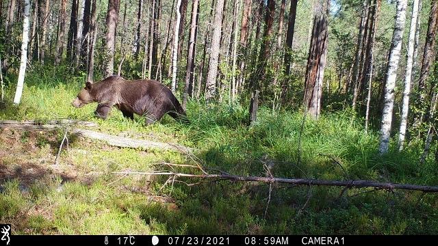Медведь сделал селфи в Керженском заповеднике