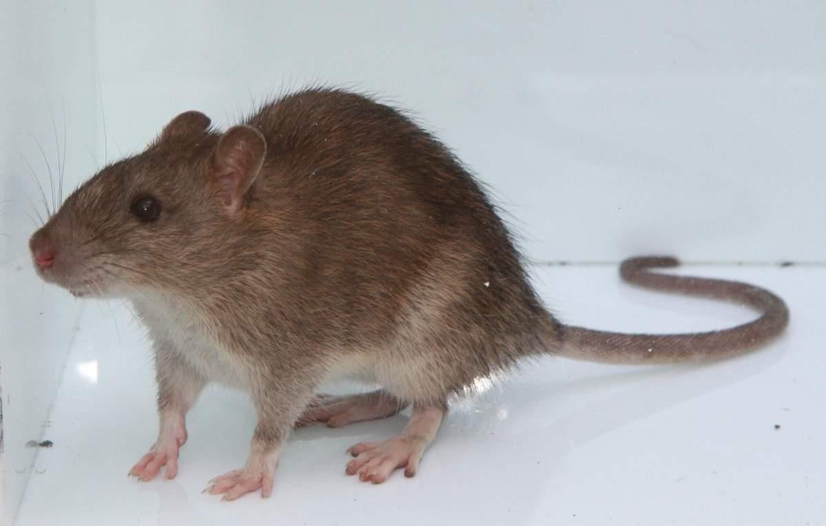 Самцов крыс научили рожать