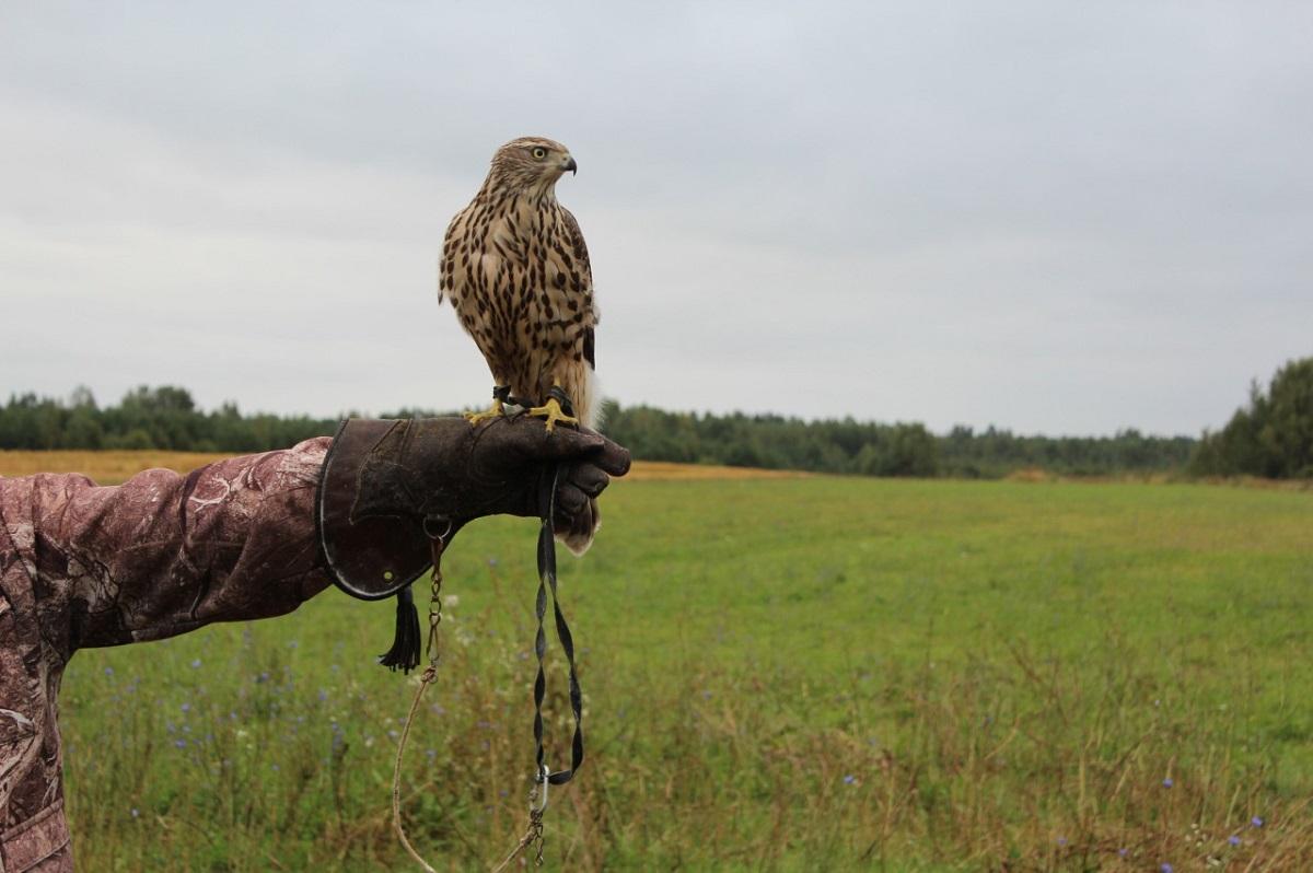 Началась выдача разрешений наохоту словчими птицами натерритории Нижегородской области