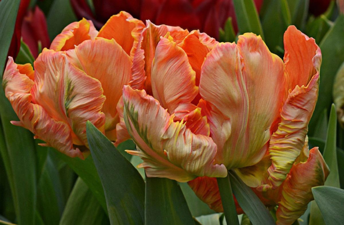 Как выращивать тюльпаны в горшке